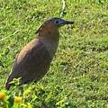 黑冠麻鷺1