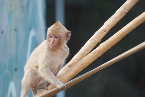 05馬來猴