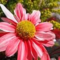 11艷麗菊花1