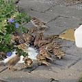 饗食的麻雀1