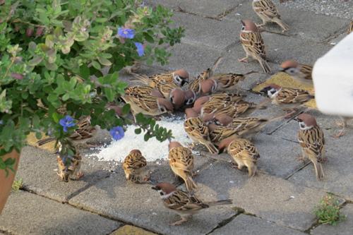饗食的麻雀3