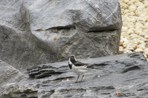 不知名的鳥1