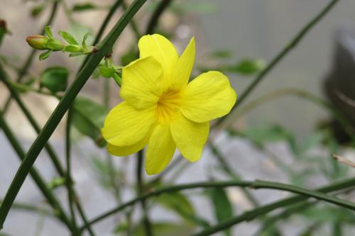 雲南黃馨(迎春花)1
