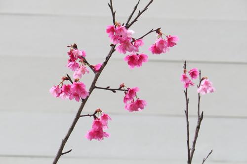 29山櫻花開了