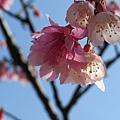 交大櫻花8