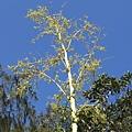不知名花樹5
