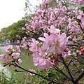 麗池公園河津櫻1