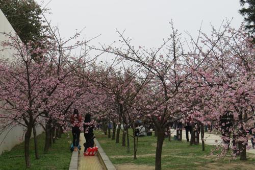 麗池公園河津櫻3