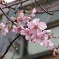 麗池公園河津櫻8