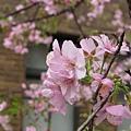 麗池公園河津櫻10