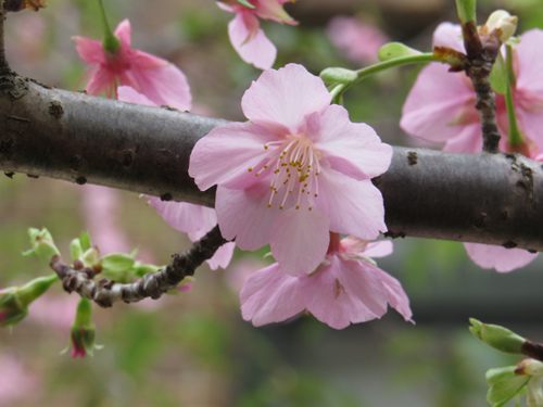麗池公園河津櫻16