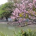 麗池公園河津櫻17