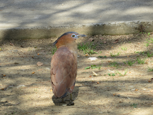 黑冠麻鷺2