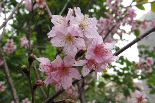 科園巷弄櫻花1