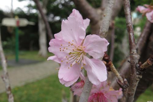 科園巷弄櫻花2