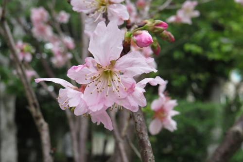 科園巷弄櫻花3