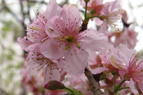 科園巷弄櫻花4