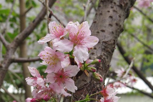 科園巷弄櫻花5