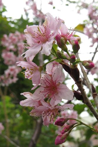 科園巷弄櫻花6