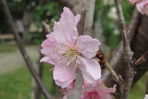 科園巷弄櫻花7
