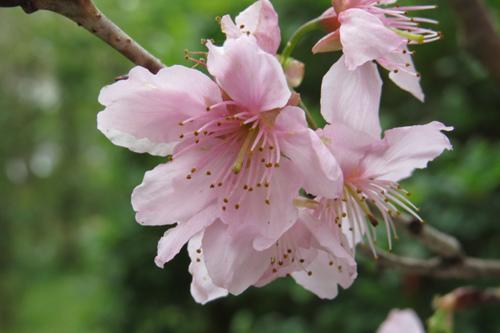 科園巷弄櫻花8