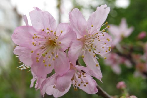 科園巷弄櫻花9