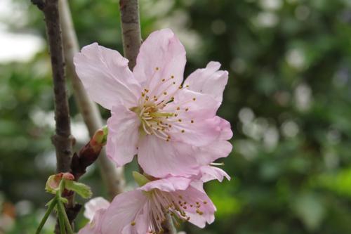 科園巷弄櫻花10