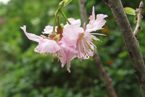 科園巷弄櫻花11
