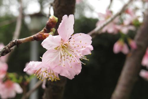 科園巷弄櫻花12
