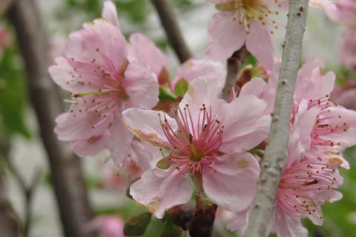 科園巷弄櫻花13