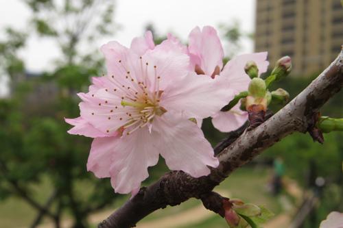 麗池公園大島櫻1