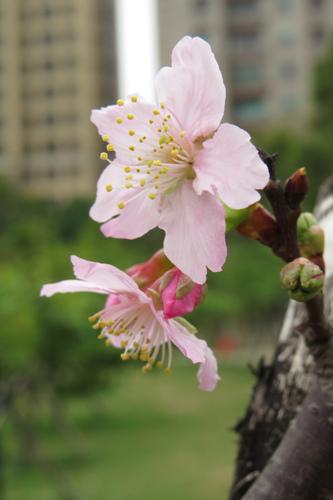 麗池公園大島櫻2