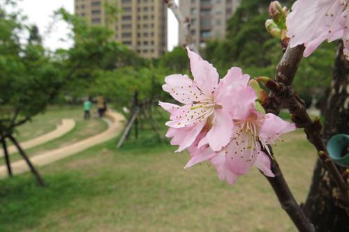 麗池公園大島櫻4