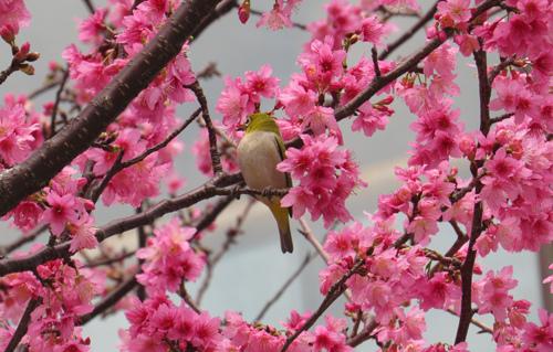 綠繡眼和櫻花