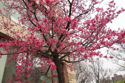 文化中心的櫻花1
