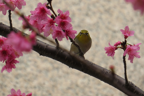 文化中心的櫻花2