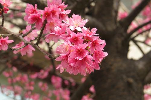 文化中心的櫻花3