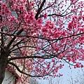 文化中心的櫻花4