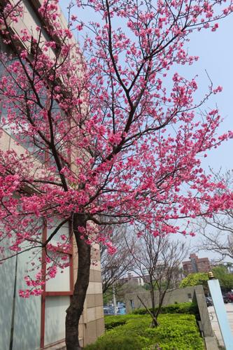 文化中心的櫻花5