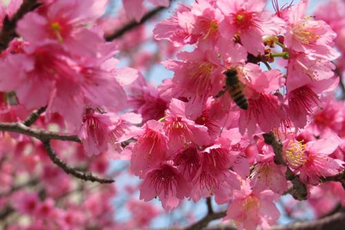 文化中心的櫻花6