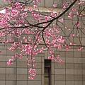 文化中心的櫻花7