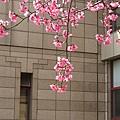 文化中心的櫻花8