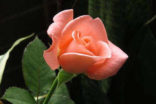 陽台上的玫瑰