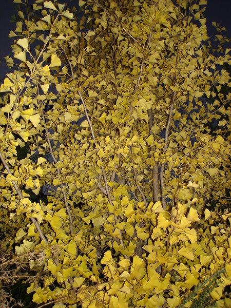 Day2~奈良井宿的銀杏..葉子都黃了..黃的很漂亮..可惜太晚到..店面都關了..日本人也太早休息了吧..