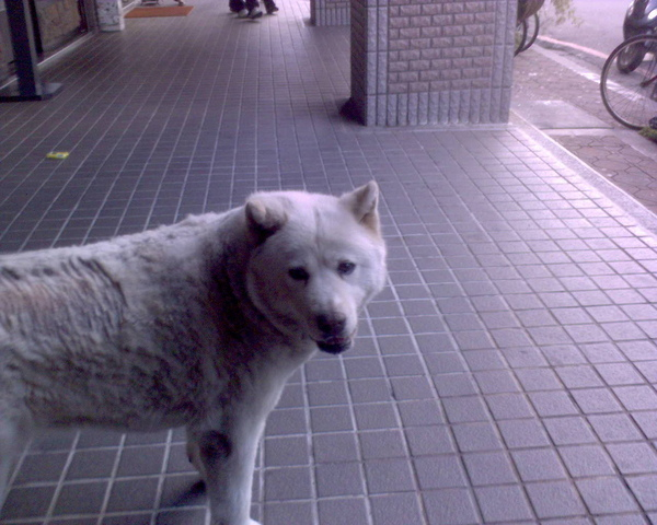 很像大白熊的不知名犬