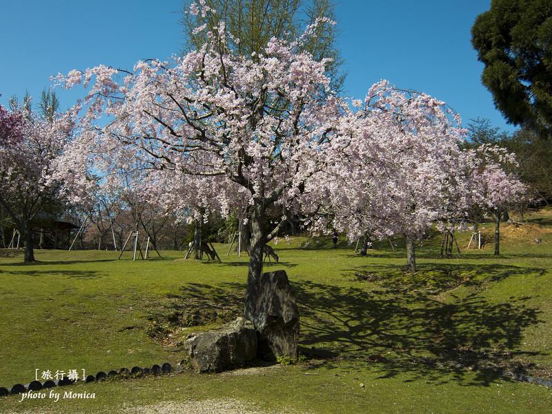 奈良公園櫻花