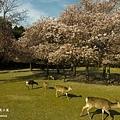 奈良櫻花小鹿