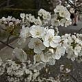 御苑櫻花近拍