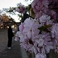 造幣局-櫻