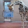 非常巨大的長頸鹿!!